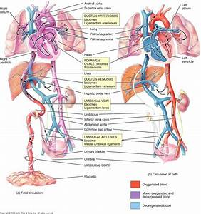 Diagram  Human Vascular Anatomy Diagram