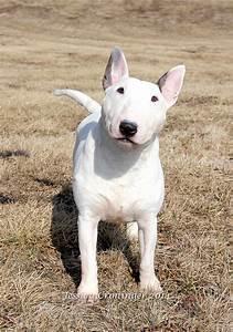 367 besten Bull Terrier Bilder auf Pinterest | Englischer ...