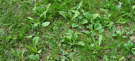 how to kill lawn weeds and moss which