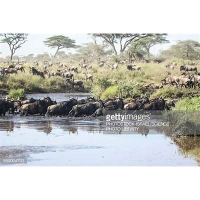 Wildebeest Migration Stock PhotoGetty Images