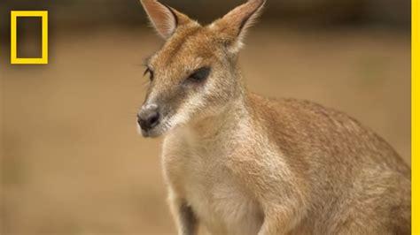 Kangaroo Marsupial