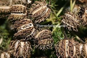 Ricinus Communis Castor Oil