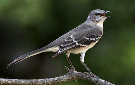 a mockingbird sings a poem by sydney eddison polly castor