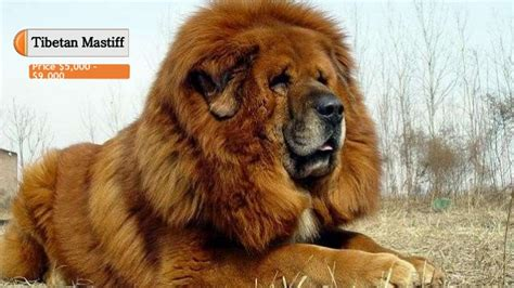 Top 10 Most Expensive Dog Breeds In The World