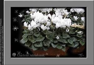 Zimmerpflanze Weiße Blüten : alpenveilchen als zimmerpflanze bilder fotos cyclamen persicum bild mit infos ~ Markanthonyermac.com Haus und Dekorationen