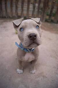 Grey pitbull puppy with blue eyes. Adorable! | Cute_asfuck