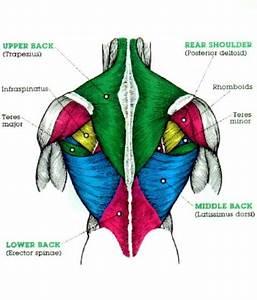 M U S C L E S   Pectoral Region  U0026 Back Muscles