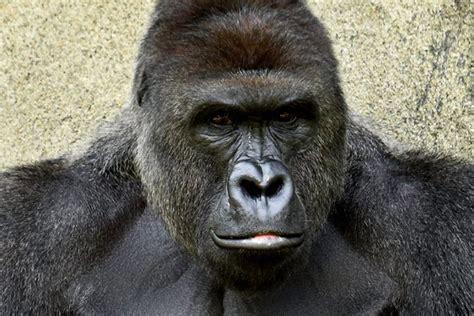 Gorilla Warfare Meme - harambe the gorilla the zoo killing that s set the internet on fire explained vox