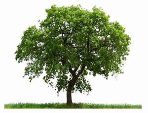 Tree PNG Images Quality Transparent Pictures | PNG Only