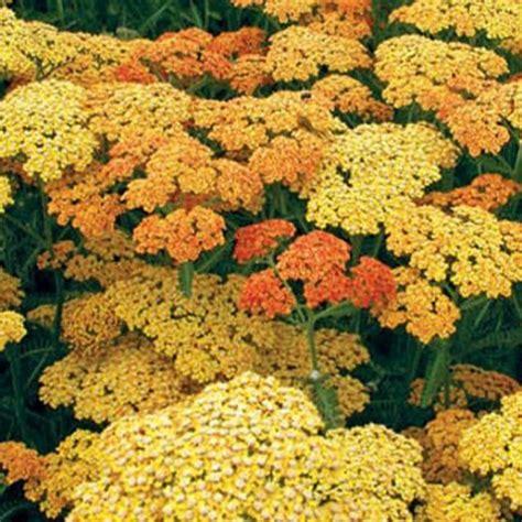 sarriette vivace cuisine achillea 39 terracotta 39 achillée orange pour jardin sec