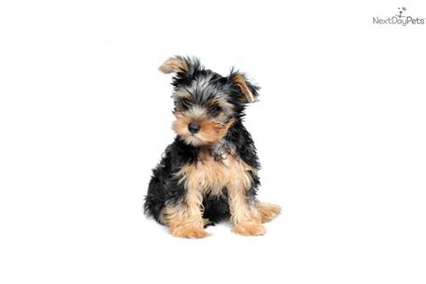 Do Shorkie Poos Shed by Grown Yorkie 2 Pound Breeds Picture