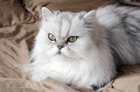 te lo contamos todo sobre la raza de gato persa chinchilla wakyma