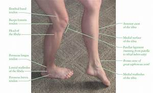Human Anatomy For The Artist  Anterior Leg  Part 1  The