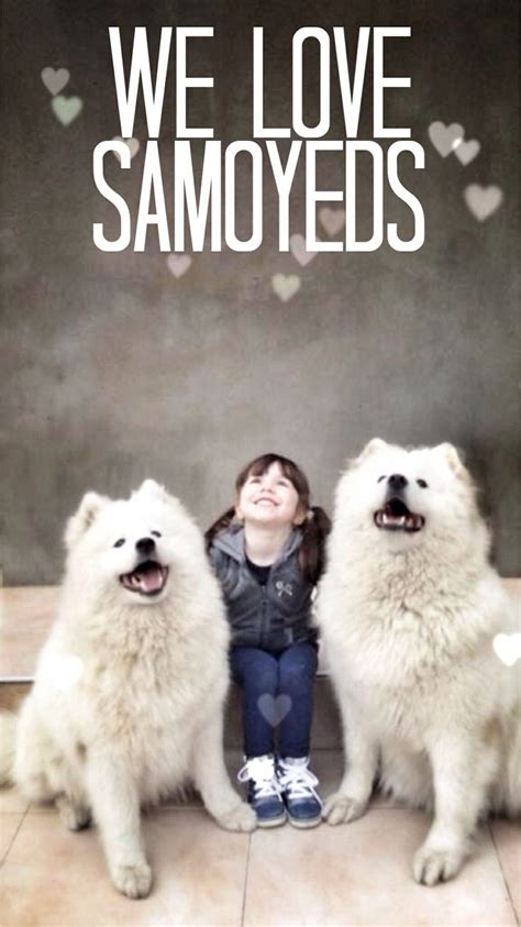 17 Best Images About Syberian Samoyed On Pinterest