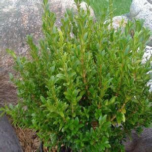 OnlinePlantCenter 1.5 Gal. Wee Willie Boxwood Shrub