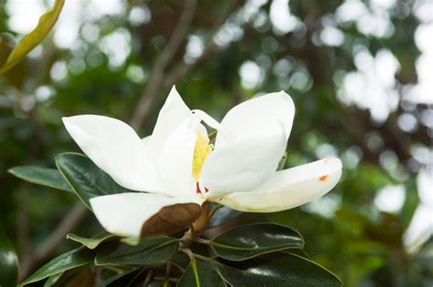 magnolia tree varieties australia magnolia little gem burke s backyard