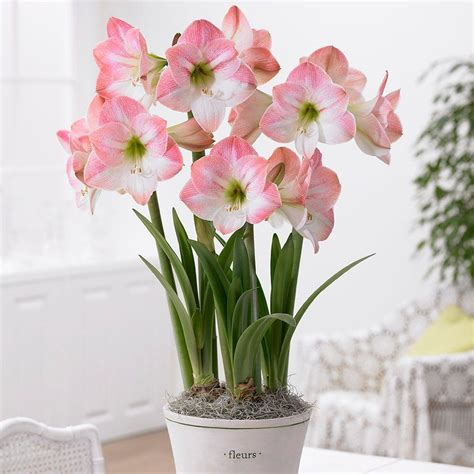 34 36 cm amaryllis apple blossom bulb 10000261 the home