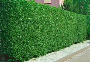 Kletterpflanzen Winterhart Immergrün Schnellwachsend : bcm hecke liguster atrovirens sonne halbschatten online kaufen otto ~ Yasmunasinghe.com Haus und Dekorationen