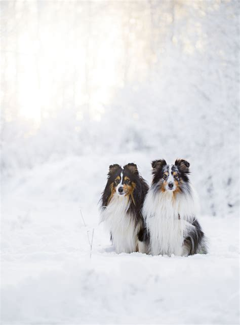 sheltie shedding in winter sheltie nation archive kodak shelties