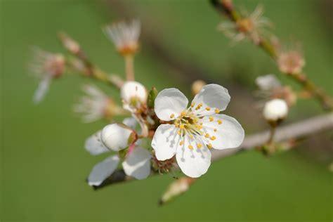 plum tree flowers file plum tree flowers auvergne 2013 04 03 n01 jpg wikimedia commons