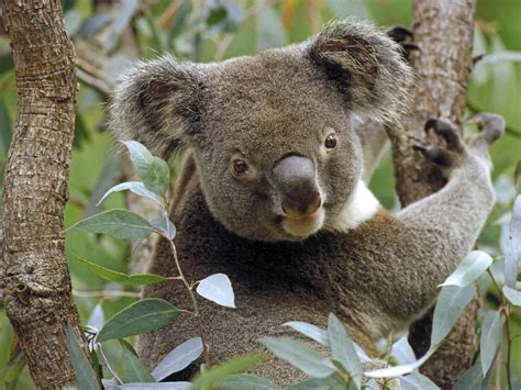 free alternative to resume rabbit koala phascolarctos cinereus
