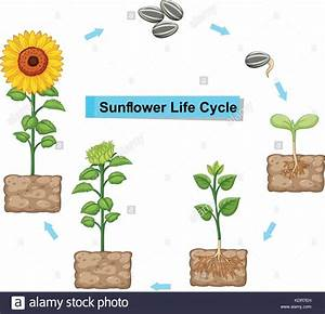 Diagram Showing Life Cycle Of Sunflower Illustration Stock