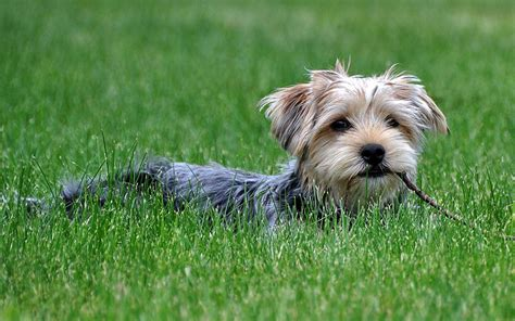 yorkshire terrier photography wallpaper  animal