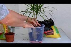 Ficus Benjamini Gelbe Blätter : video palmen umtopfen so gelingt 39 s ~ Watch28wear.com Haus und Dekorationen