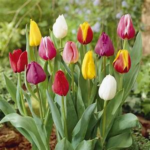 Tulpen Im Garten : triumph tulpen mix 25er pack online kaufen bestellen ~ A.2002-acura-tl-radio.info Haus und Dekorationen