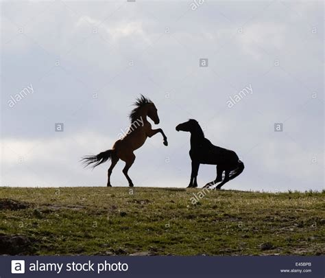 wild montana horses pryor mustangs usa mountains stallions alamy