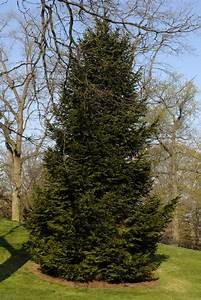 Norway Spruce - FaveThing com