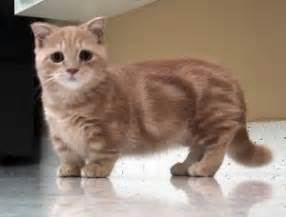 small cat breeds smallest cat breeds whic are really adorable and