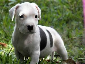 American Pit Bull Terrier - Puppies, Rescue, Pictures ...