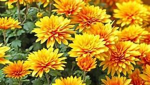 Herbstblumen Garten Winterhart : chrysanthemen berwintern so sch tzen sie die blumen vor frost ~ Frokenaadalensverden.com Haus und Dekorationen