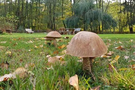Maronen Pilze Im Garten by Wer Kann Schon Pilze Im Garten Sammeln Ein Bericht Aus