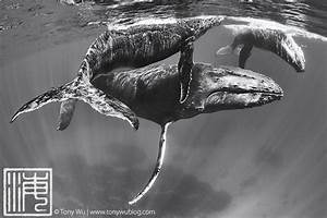 Black And White Humpback Whale | www.pixshark.com - Images ...