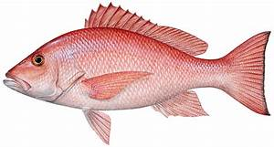 red snapper | Louisiana Lagniappe