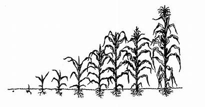 Corn Drawing Stages Maize Plant Crops Growth