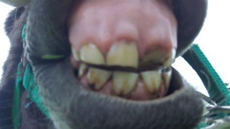 dent cass 233 e ou dent de lait 1 forum cheval