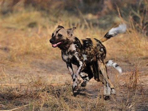 fast   african wild dog run quora
