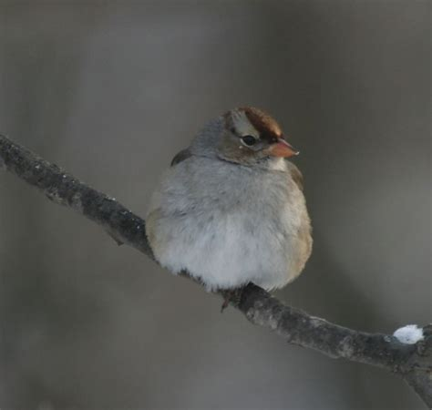 234 best images about birds from ohio on pinterest