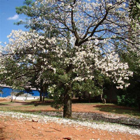 Muda de Paineira Branca ou Paineira da Pedra - Safari Garden