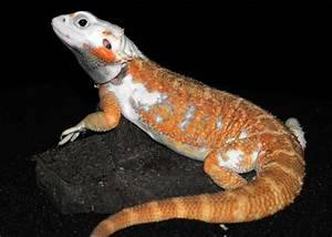 Bearded Dragon Morphs Reptile Forums