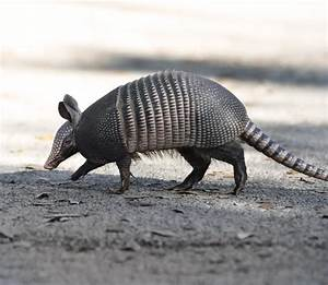 Armadillos - Animal Control Products