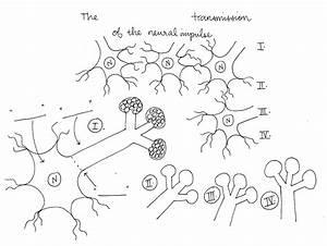 Neuron Diagram Blank