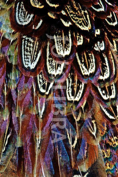 Pheasant Feathers Close Tucked