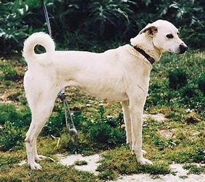 cute cretan hound dog photo