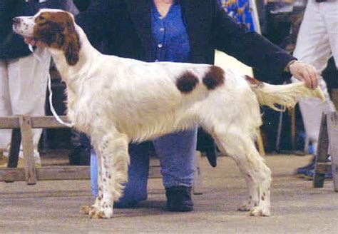 Razze cani: Setter Irlandese Rosso Bianco