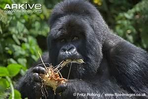 Eastern gorilla photo - Gorilla beringei - G113043 | Arkive