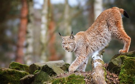 HD Animals Cats Lynx Trees Forest Wildlife Predator Nature